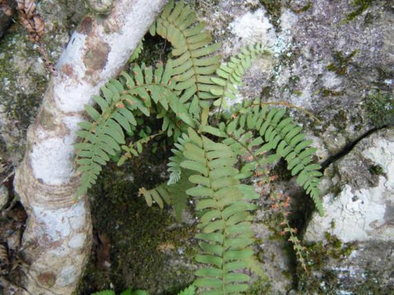 乾燥気味の岩場に着生することが多い。撮影:神ノ川