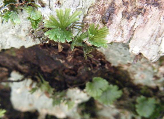 湿度の高い森では高木の上部の樹幹にも着生する。撮影:水ノ木