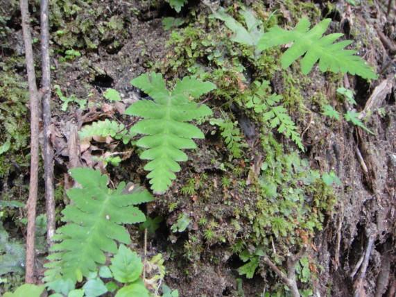 エビラシダの生態。2011,8,17大滝沢