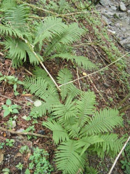 林内の林道わきに生育。他地域から移入してきたものか。撮影:水ノ木
