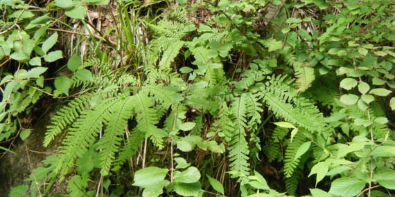 林道沿いの斜面や岩壁でよく見られる。 撮影:世附
