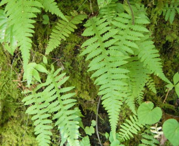 林内で成育する個体は葉身・羽片とも長さの割りに幅が広い。