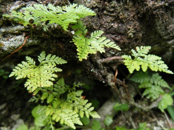 倒れた大木の樹幹上部にセッコクなどの着生ランなどとともに生育。撮影:水ノ木