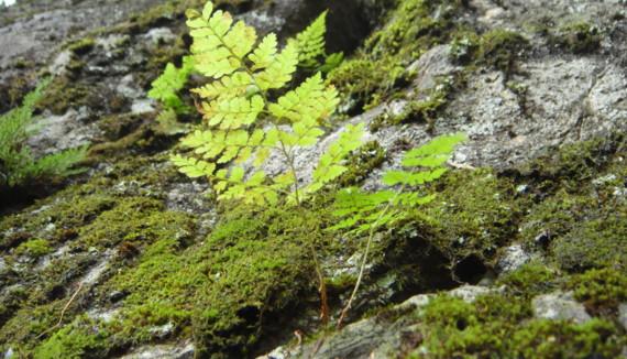 ナンタイシダの生態2011,9,25大室山