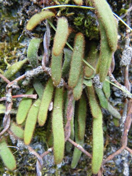 谷沿いの岩壁や林内の落葉広葉樹の大木の樹幹。 撮影:神ノ川