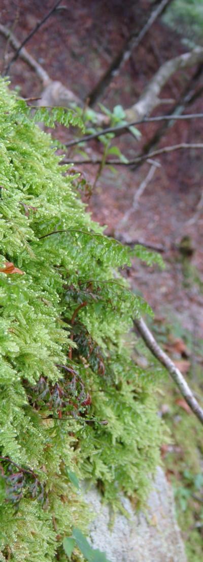 ホソバコケシノブ生態2011,9,25大室山