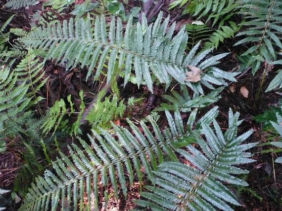アスカイノデの生態写真