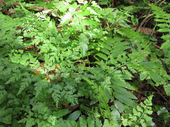 オウレンシダの生態写真