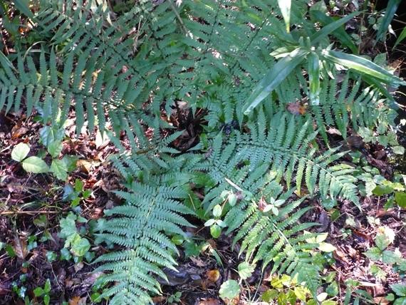 オクマワラビの生態写真