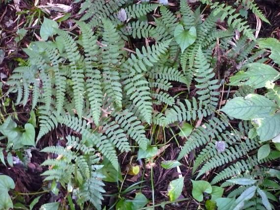 シケチシダの生態写真