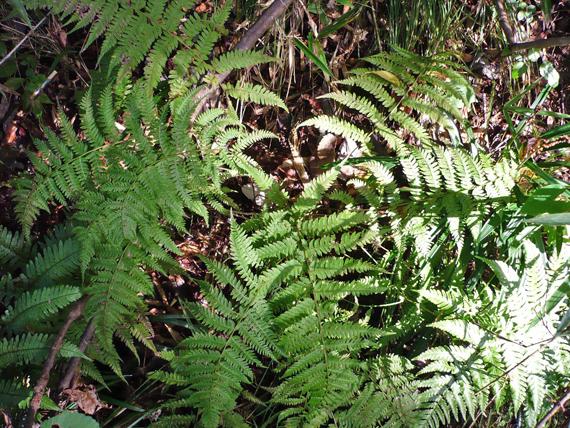 ヘビノネゴザの生態写真