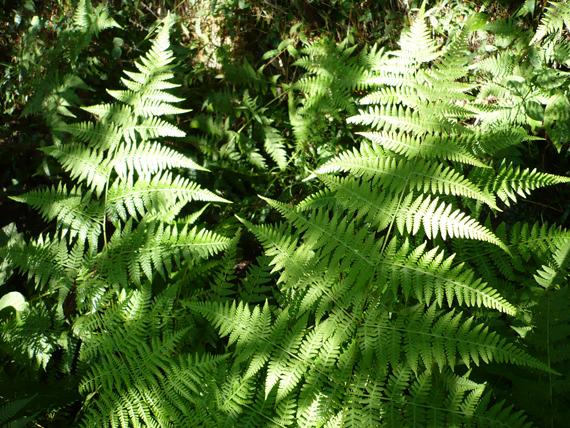 ミドリヒメワラビの生態写真
