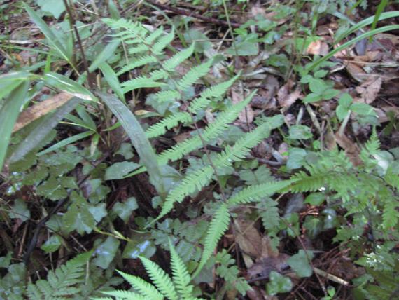 ヤワラシダの生態写真