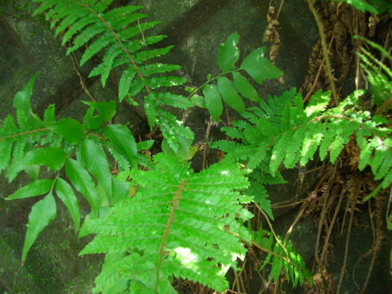 アイアスカイノデ生態09,6,20白銀林道