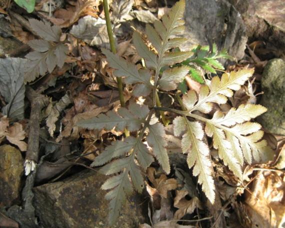 冬季やや日の当たるところでは紅葉する。2010,9,11奥湯河原林道終点
