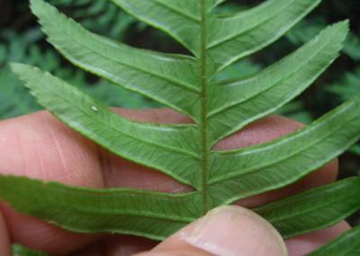 オオバノハチジョウシダの胞子嚢群 2009,6,20天照山