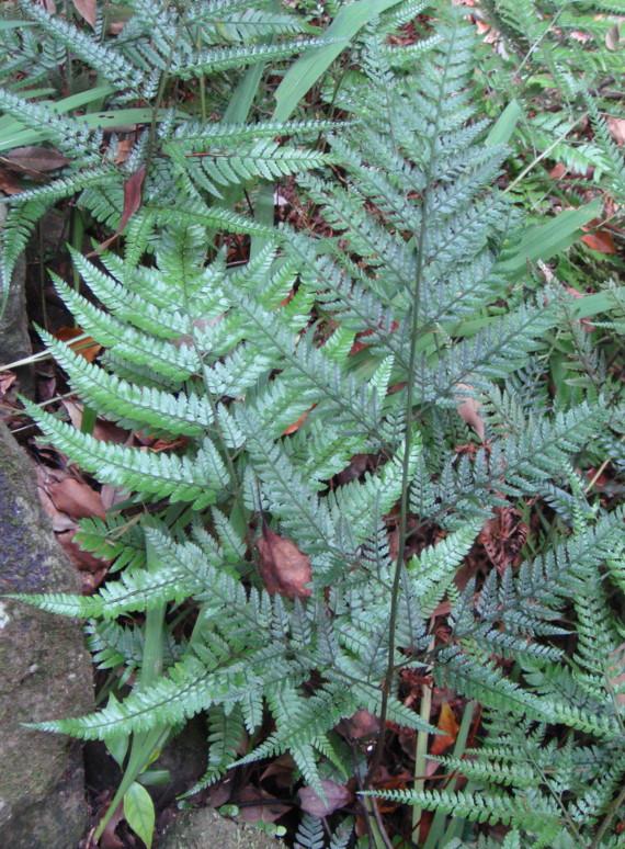 09,8,5湯河原万葉公園 胞子葉:右、栄養葉:左