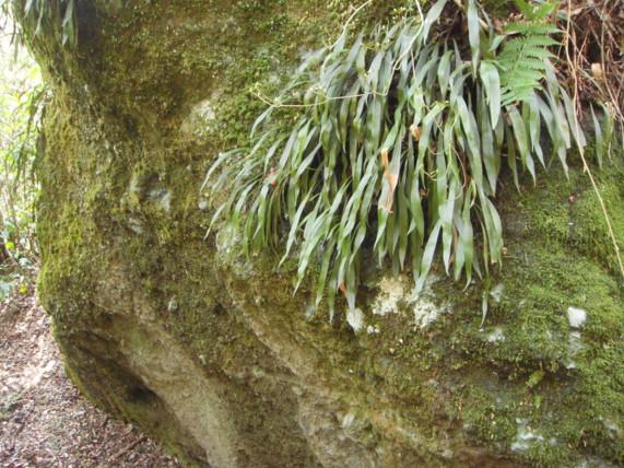 大きな岩に群生2011,3,26湯河原