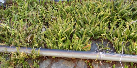 よく日の当たる石垣に群生。2011,3,26湯河原