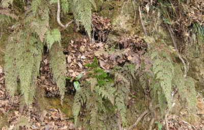冬季紅葉する。2010,1,23奥湯河原