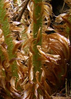 アイアノカイノデの鱗片 相模湖