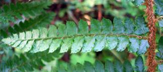 イノデモドキの羽片