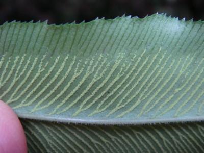 イワガネゼンマイの葉脈と胞子嚢群2010,7,22陣馬山南側貝沢