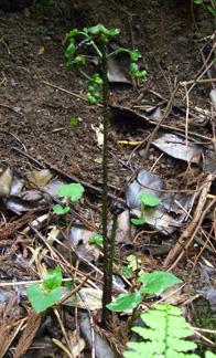 キヨタキシダの新芽