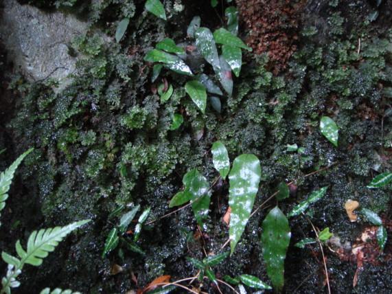 コウヤコケシノブの生態写真