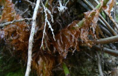 コモチシダの葉柄基部鱗片