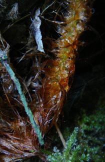 サイコクベニシダの鱗片 相模湖嵐山