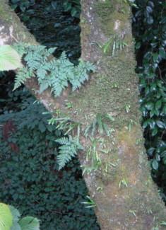渓谷の大木の樹幹に着生2009,8底沢