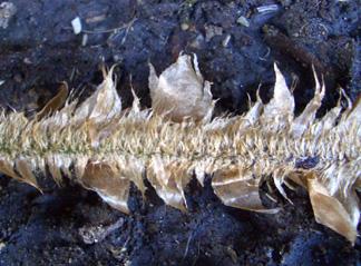 ツヤナシイノデの鱗片