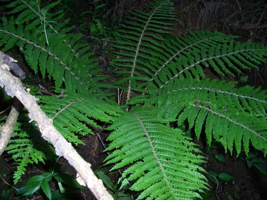 ツヤナシイノデの生態写真