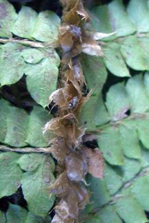 ツヤナシイノデの葉身の鱗片