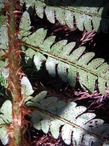 葉身下部の胞子のう群は裂片の辺縁につく。2011,9,24嵐山