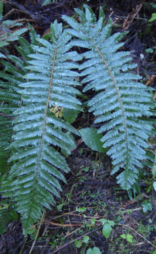 ドウリョウイノデ、葉身は大きいものでは100㎝を越える。2011,9,24嵐山