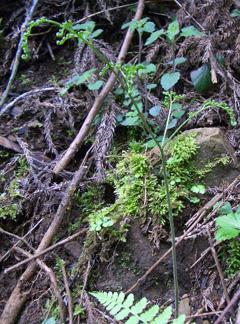 ヌリワラビの新芽