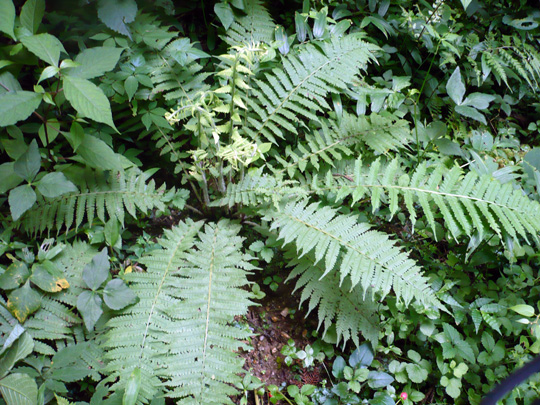 ハクモウイノデの生態写真