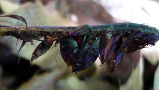 ヒメカナワラビの鱗片
