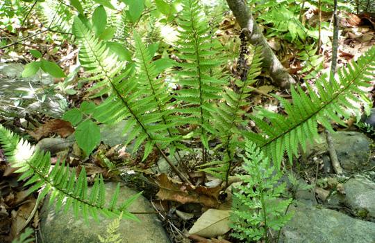 ヒメカナワラビの生態写真