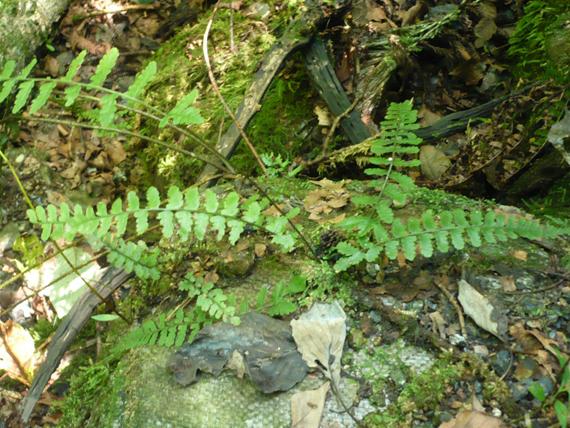 ホソバシケシダの生態写真