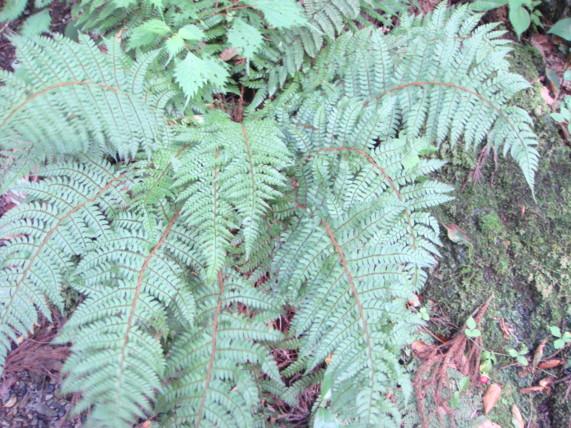 ミツイシイノデの生態写真