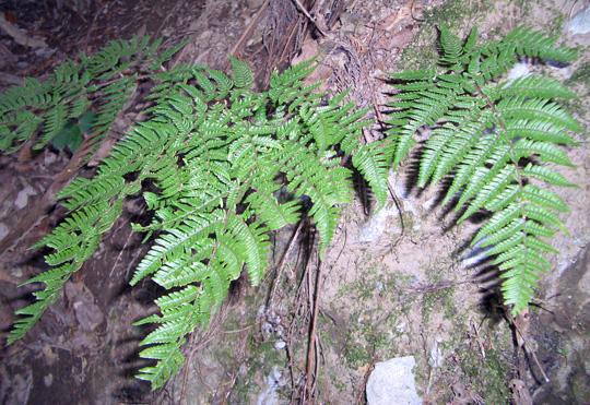 ヤマイタチシダの生態写真