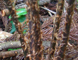 ヤマイヌワラビの鱗片