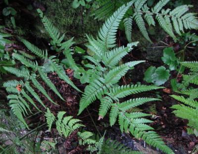 ナンカイイタチシダ10,6,26大楠山。葉の質は硬く、観察された個体の下部側羽片は長さ12~18cm・幅2~3cm、ほかのイタチシダ類にくらべシャープである。最下羽片下側第1小羽片は発達する。葉身の先端は尾状に伸びる。