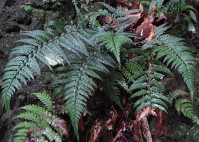 ヒメカナワラビ10,6,26大楠山。葉の質は硬く、葉柄と葉身はほぼ同長。小羽片には短い柄がある。切り立った岩壁に10株程度がまとまって生育していた。