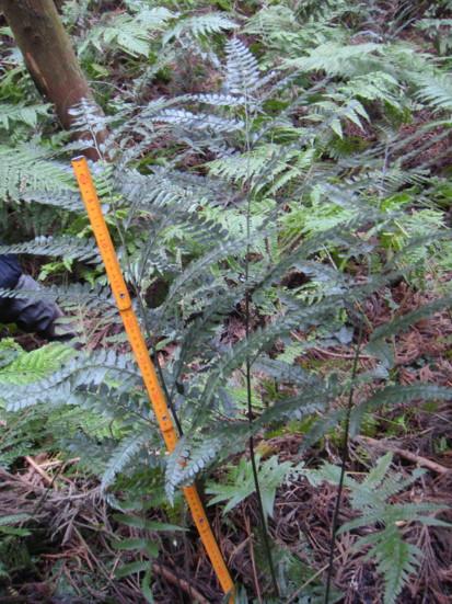大きさは1mを越える。2011,12,23沼間