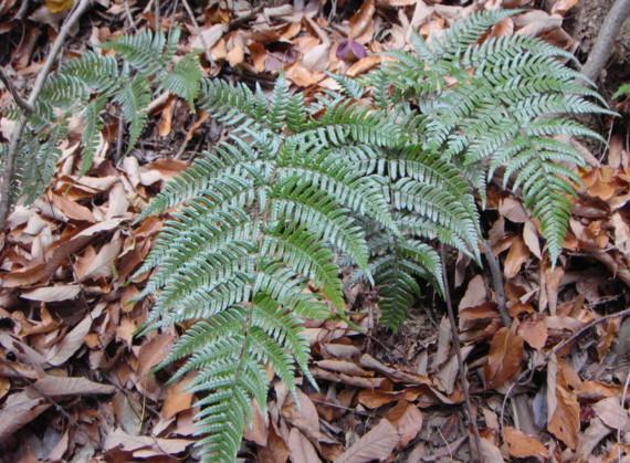 オオイタチシダの中では普通に見られるtype。2011,12,23二子山歩道