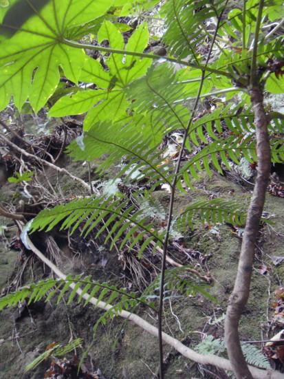 渓谷の斜面に生育2011,12,23森戸川源流